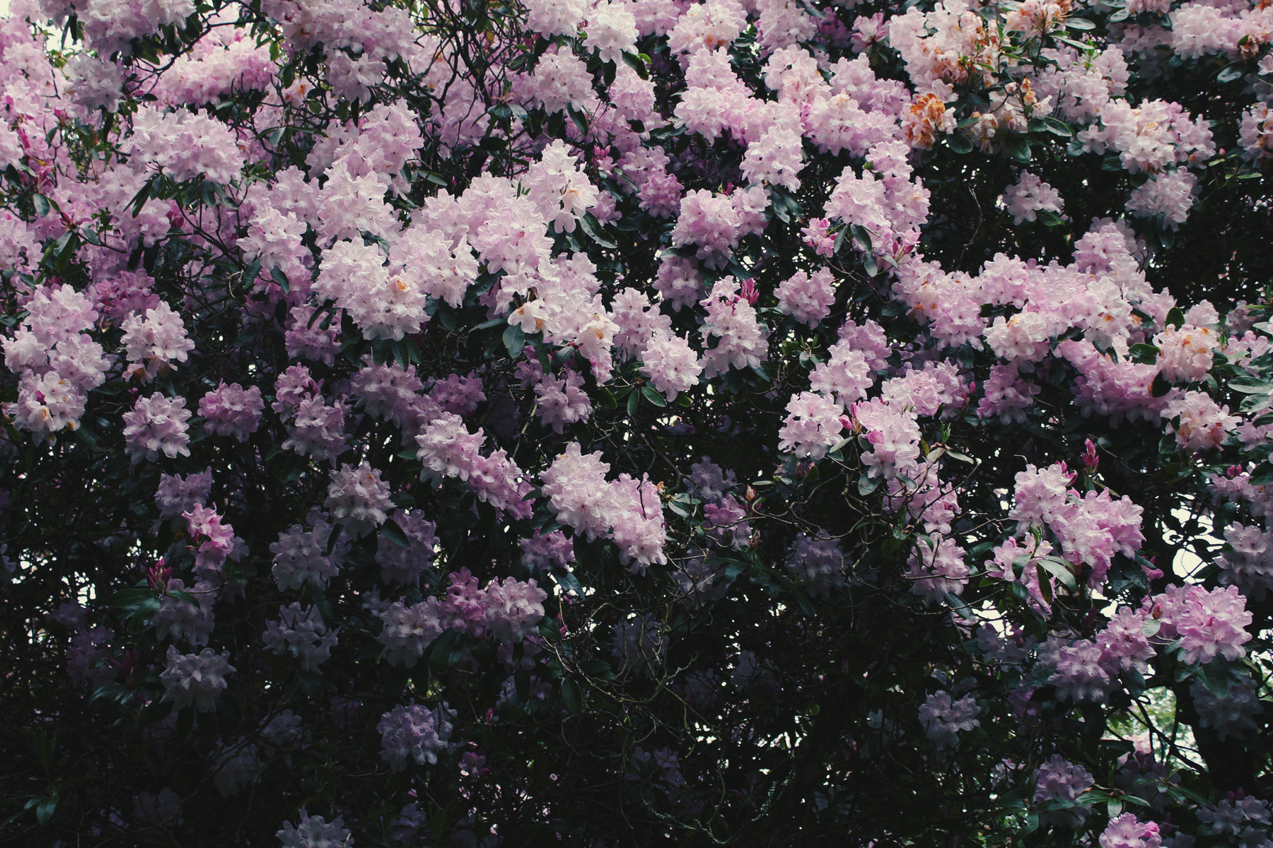 Pink Rhododendron Bush