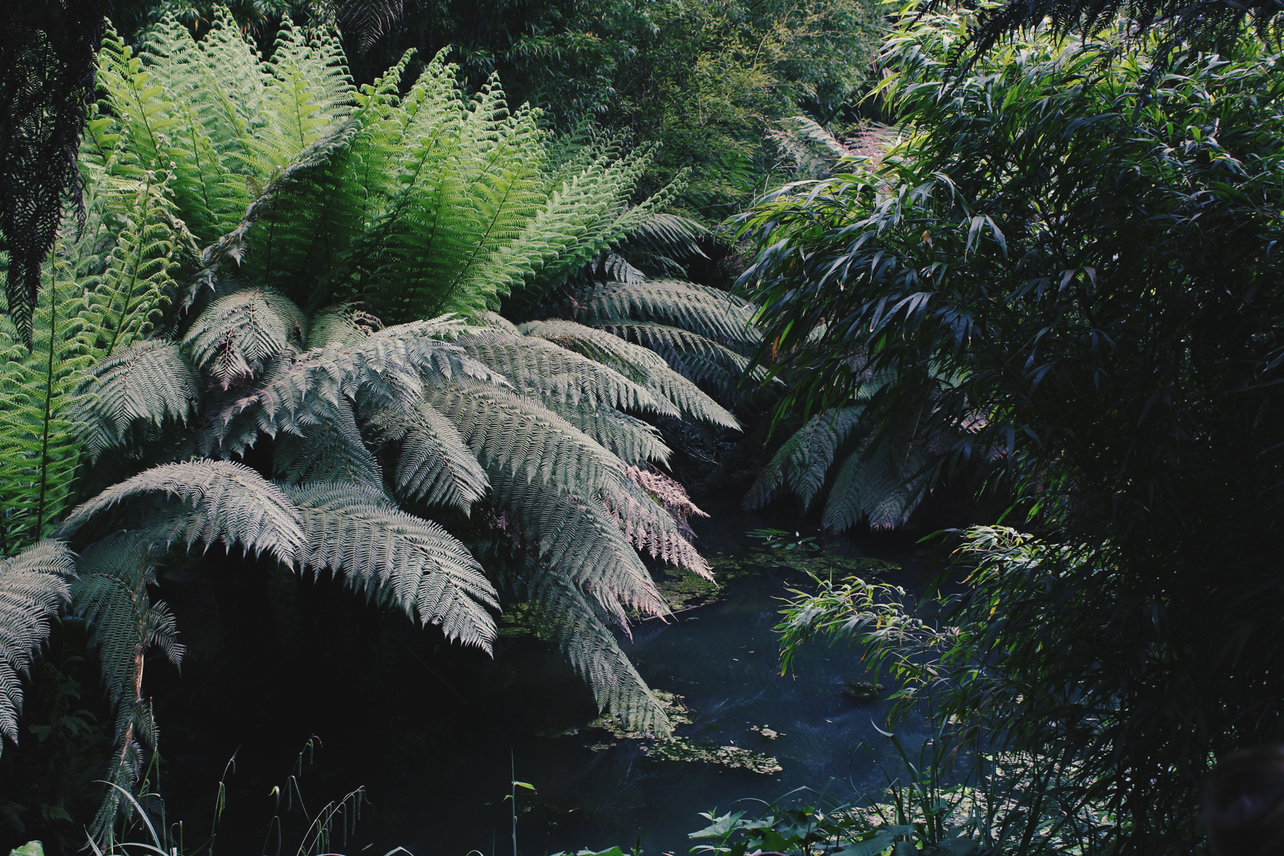 Ferns at the Lost Gardens of Heligan, Cornwall