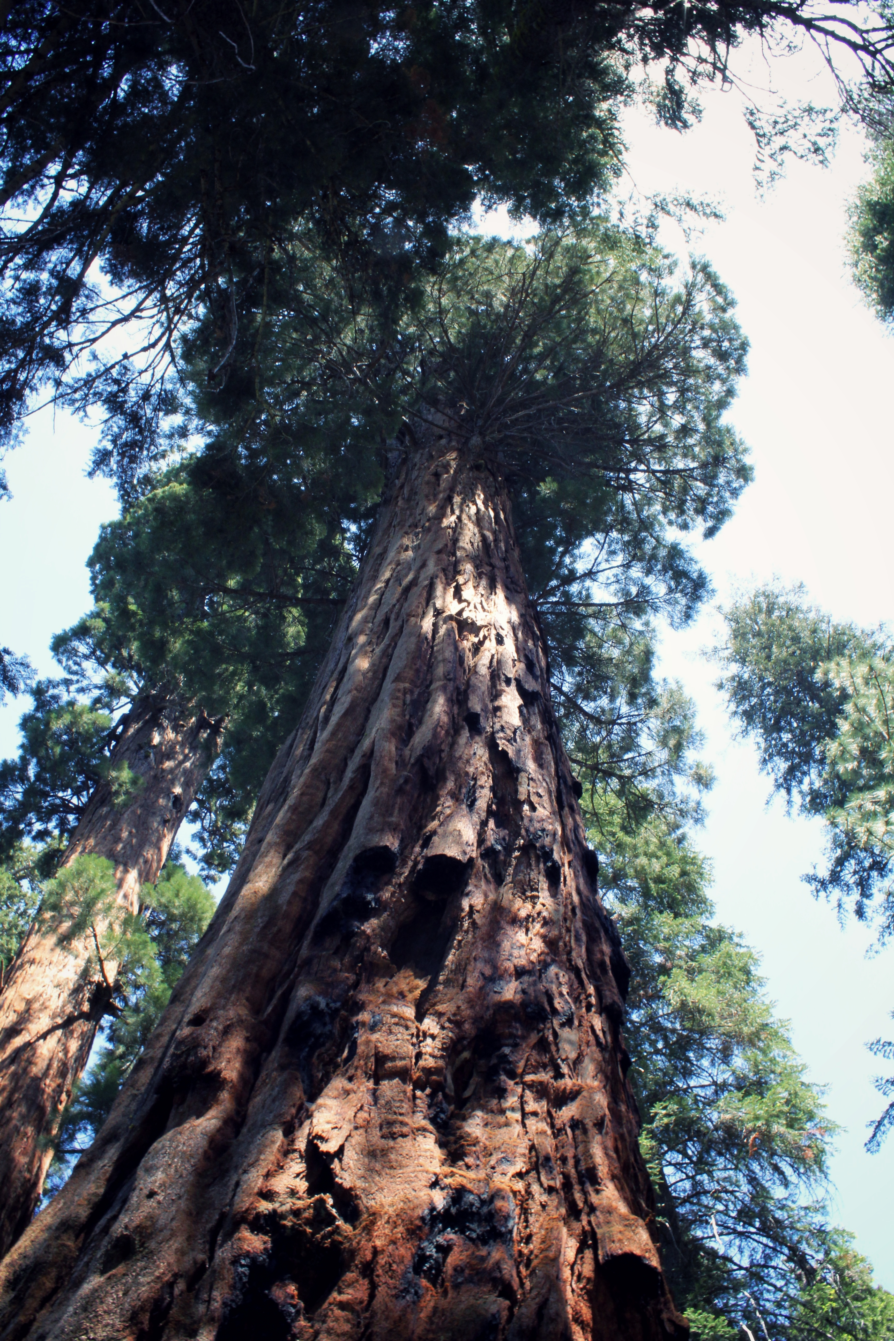 Sequoia Tree in Sequoia National Park