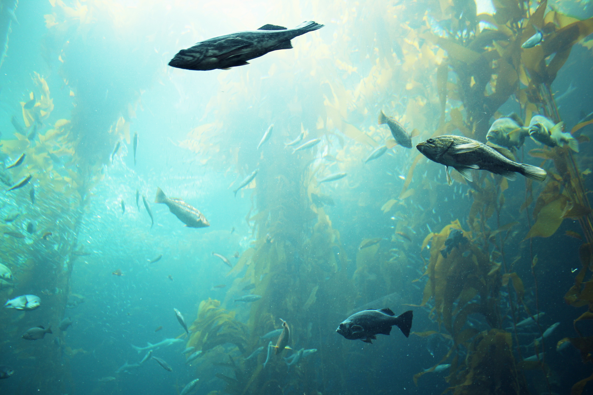 The Kelp Forest in Monterey Aquarium, California