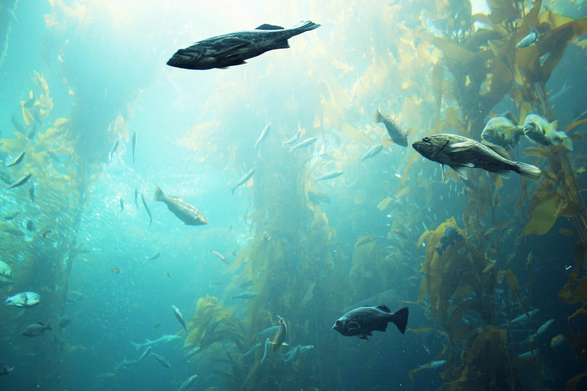 The Kelp Forest in Monterey Aquarium, California