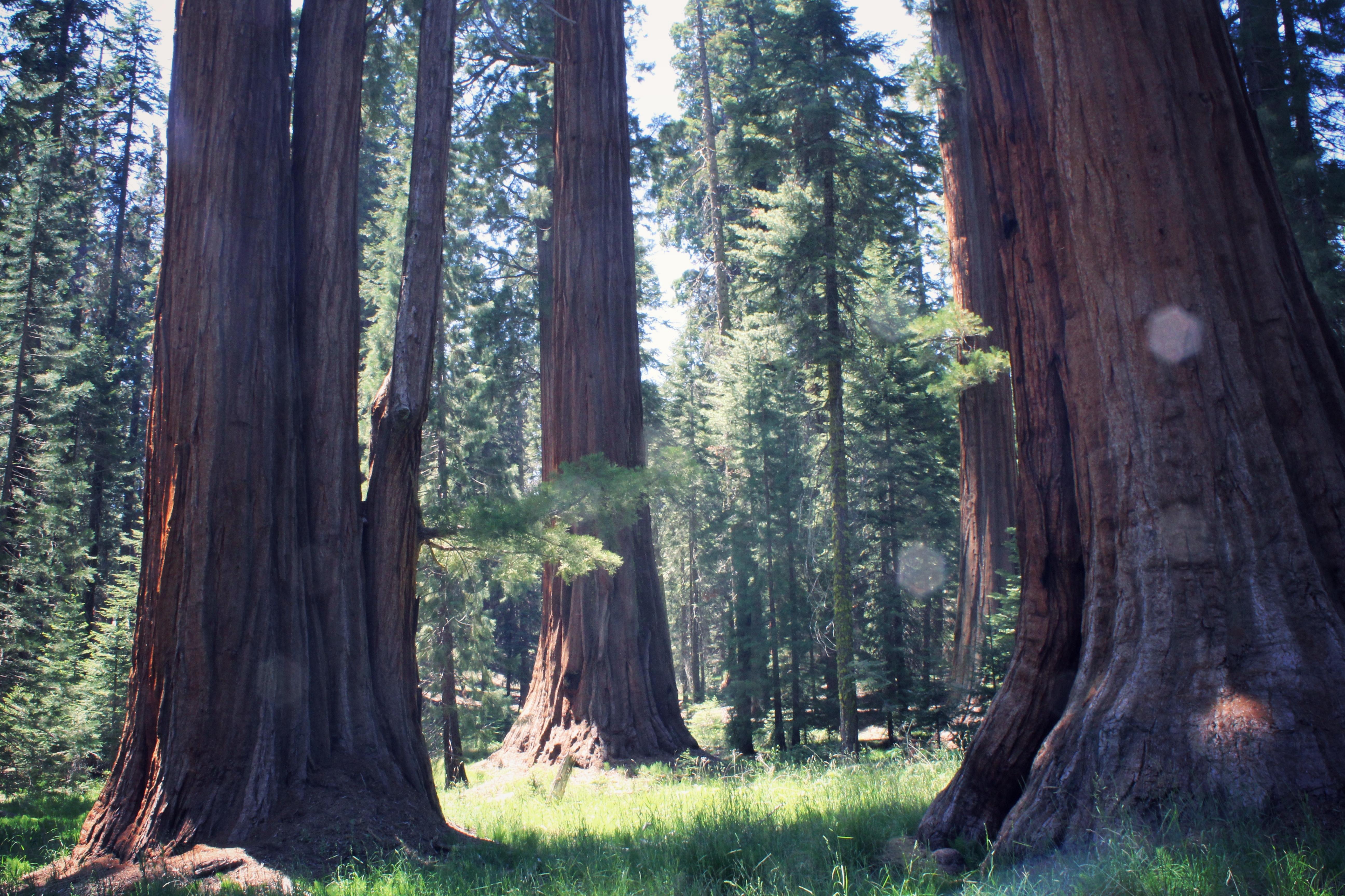 Sequoia Grove in Sequoia National Park