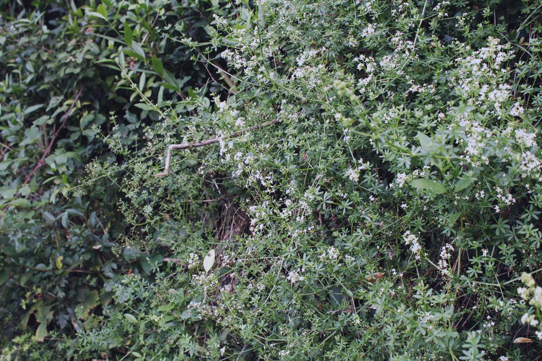 Summer hedgerow in Totnes