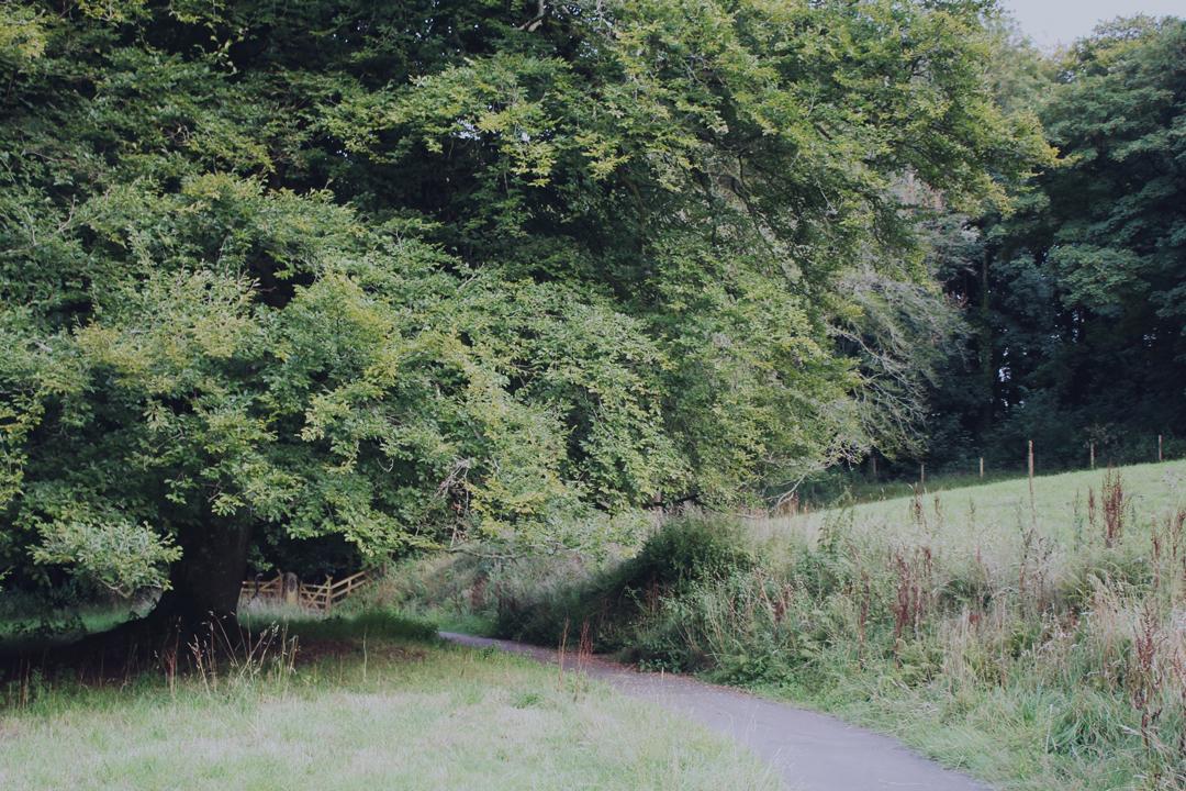 Large oak tree, Totnes footpaths