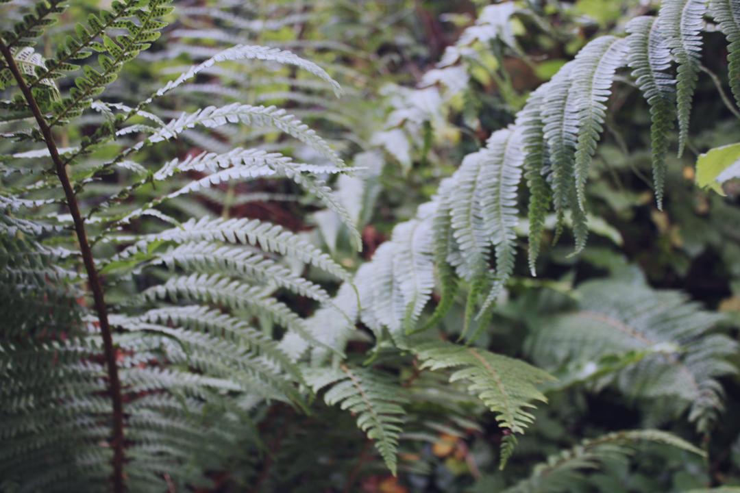 Ferns on the path - Totnes to Ashprington