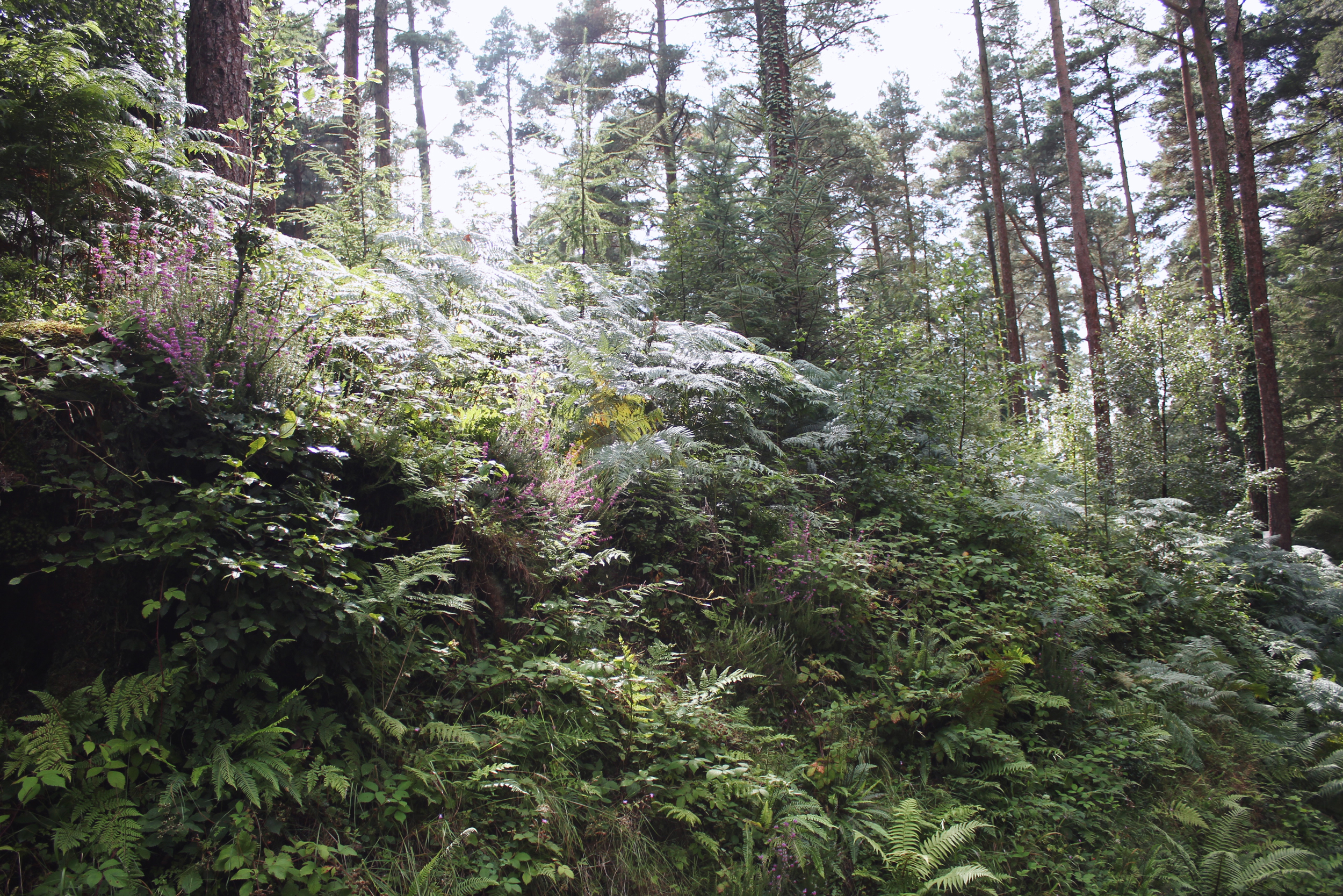 Hedgerow in the forest, Haldon Forest