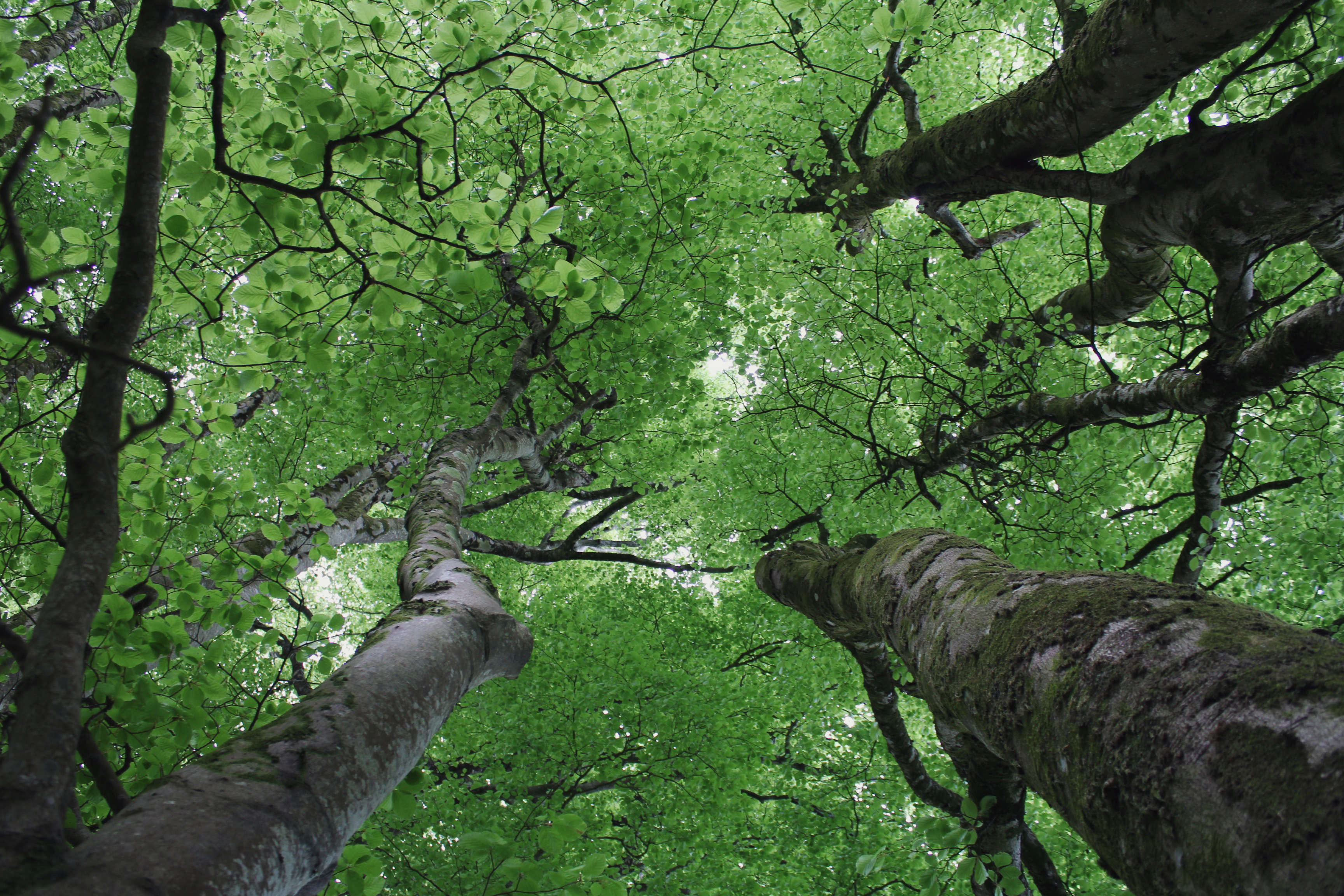 Looking up into the beech canopy, early summer in the forest