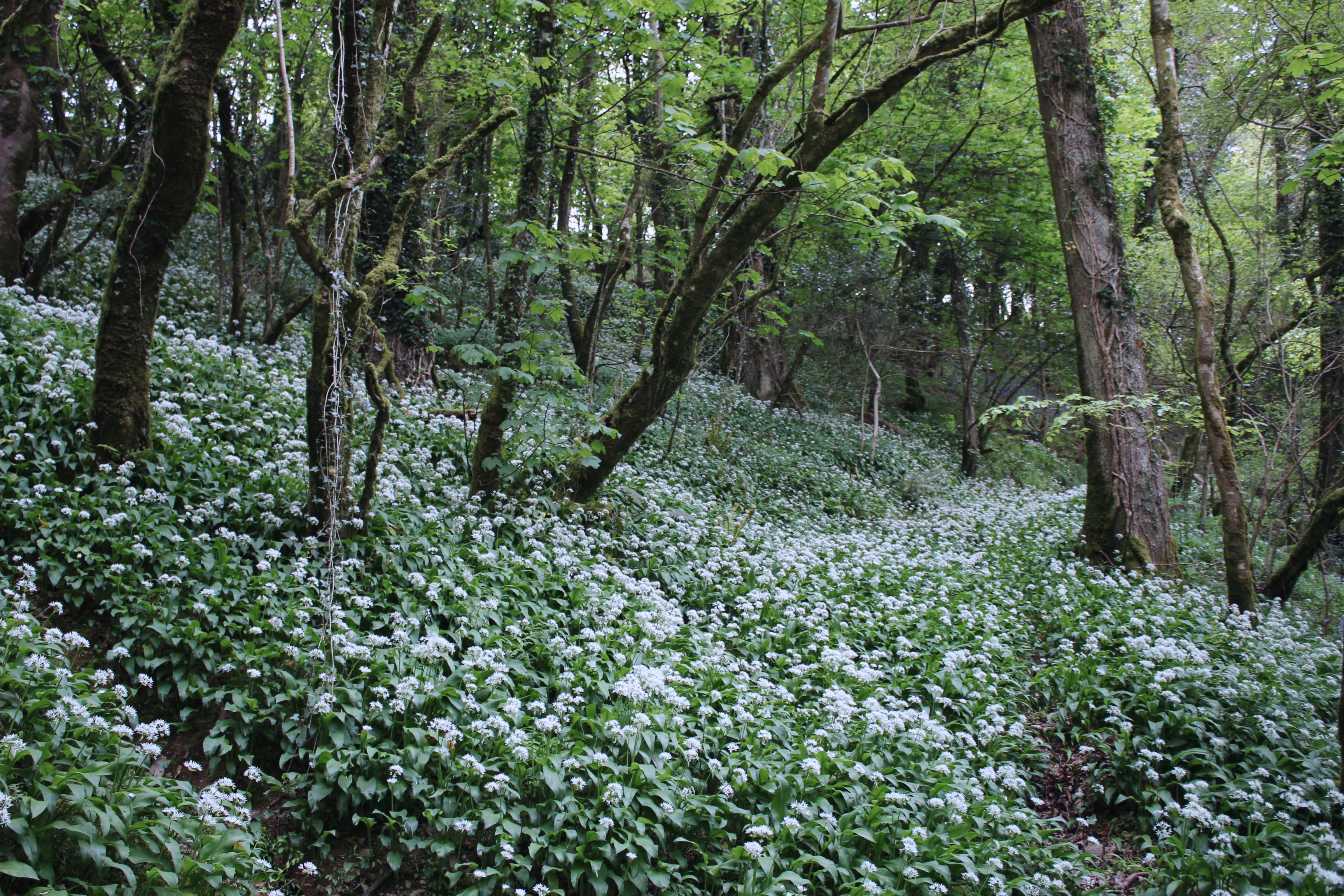 Carpet of wild garlic at Lydford Gorge, Devon