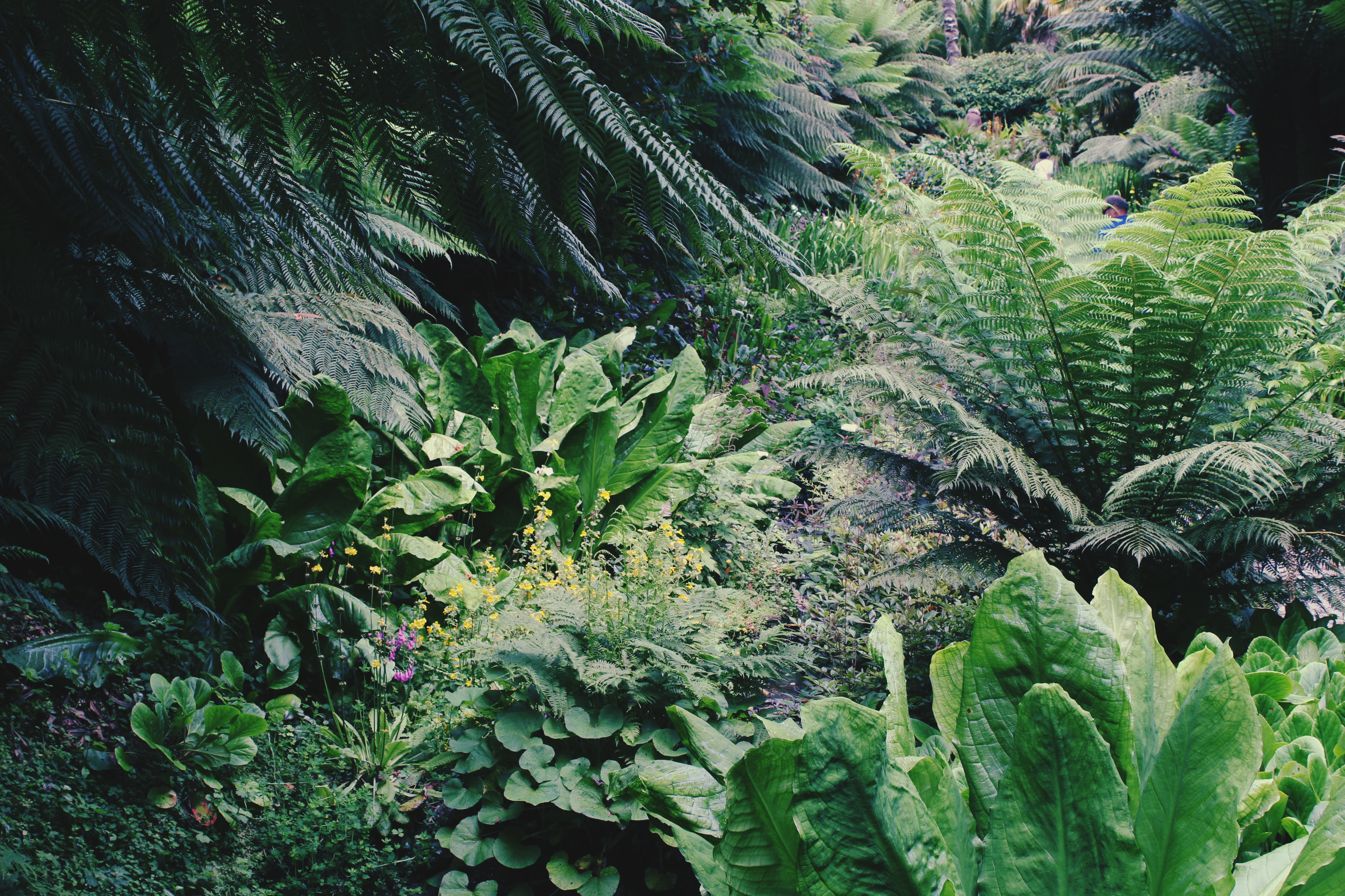 Lush ferns and tropical plants at Trebah Gardens, Cornwall
