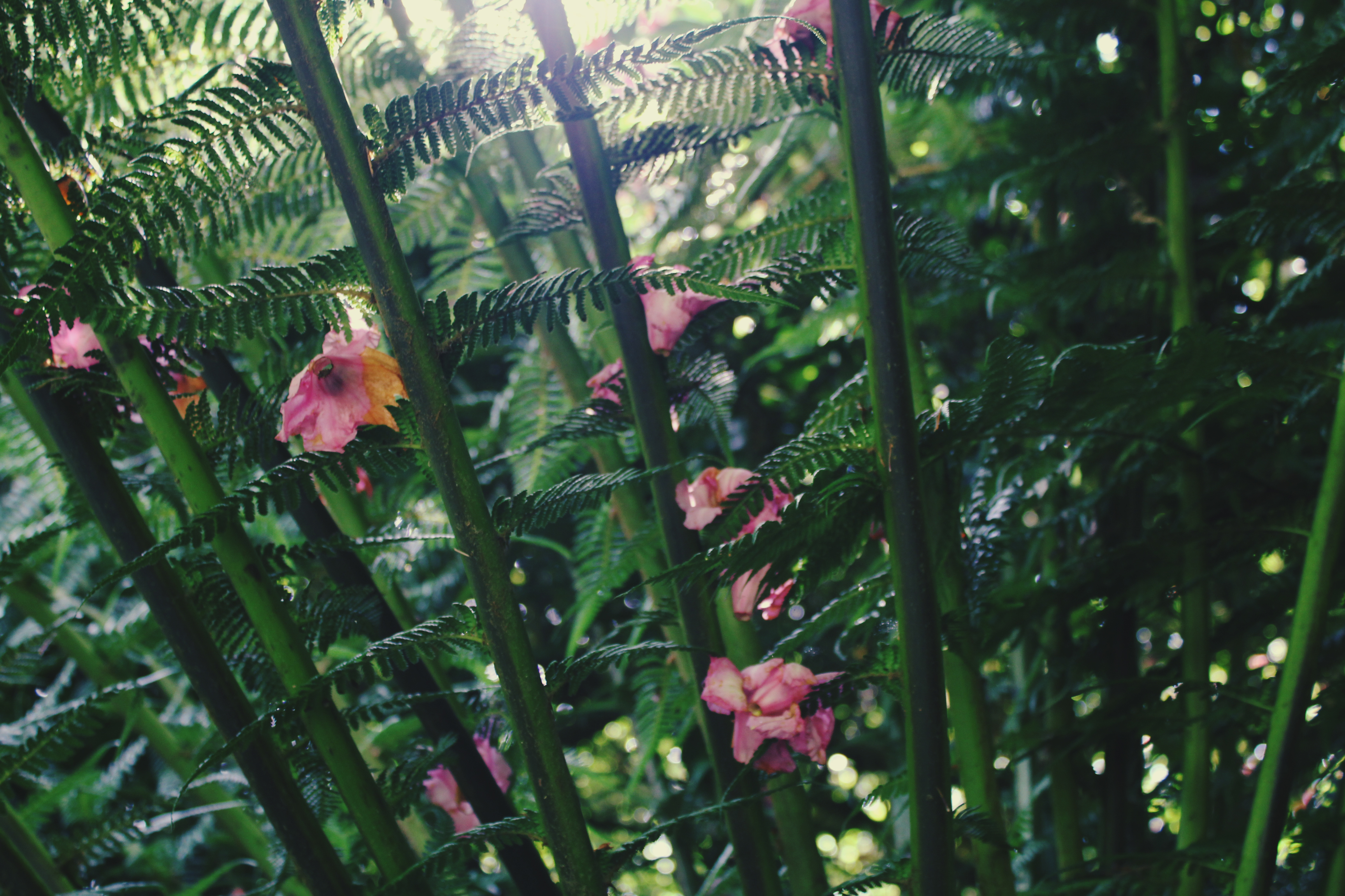 Pink fuchsia blossoms in the sun dappled fern