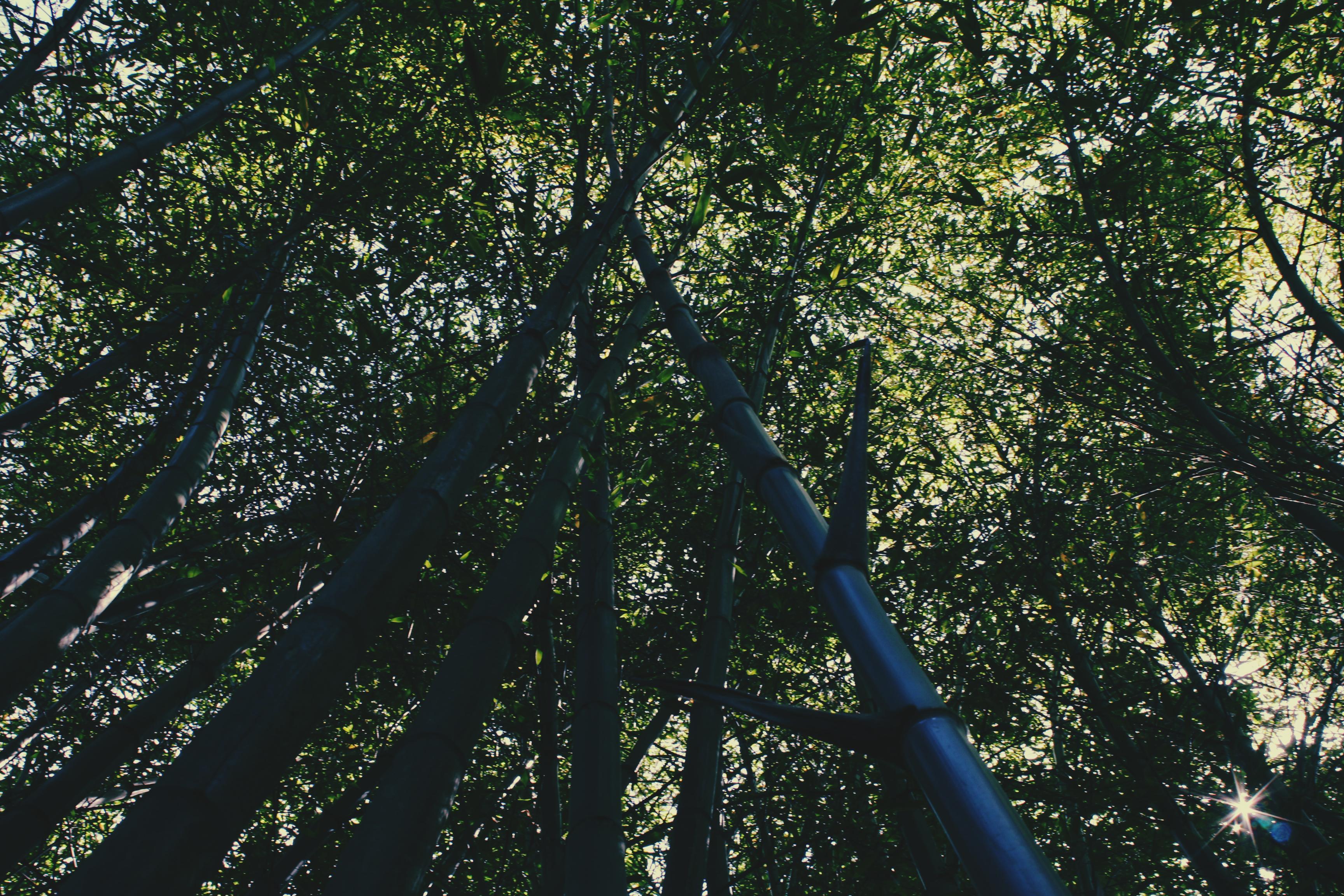 Bamboo canopy at Trebah Gardens, Cornwall