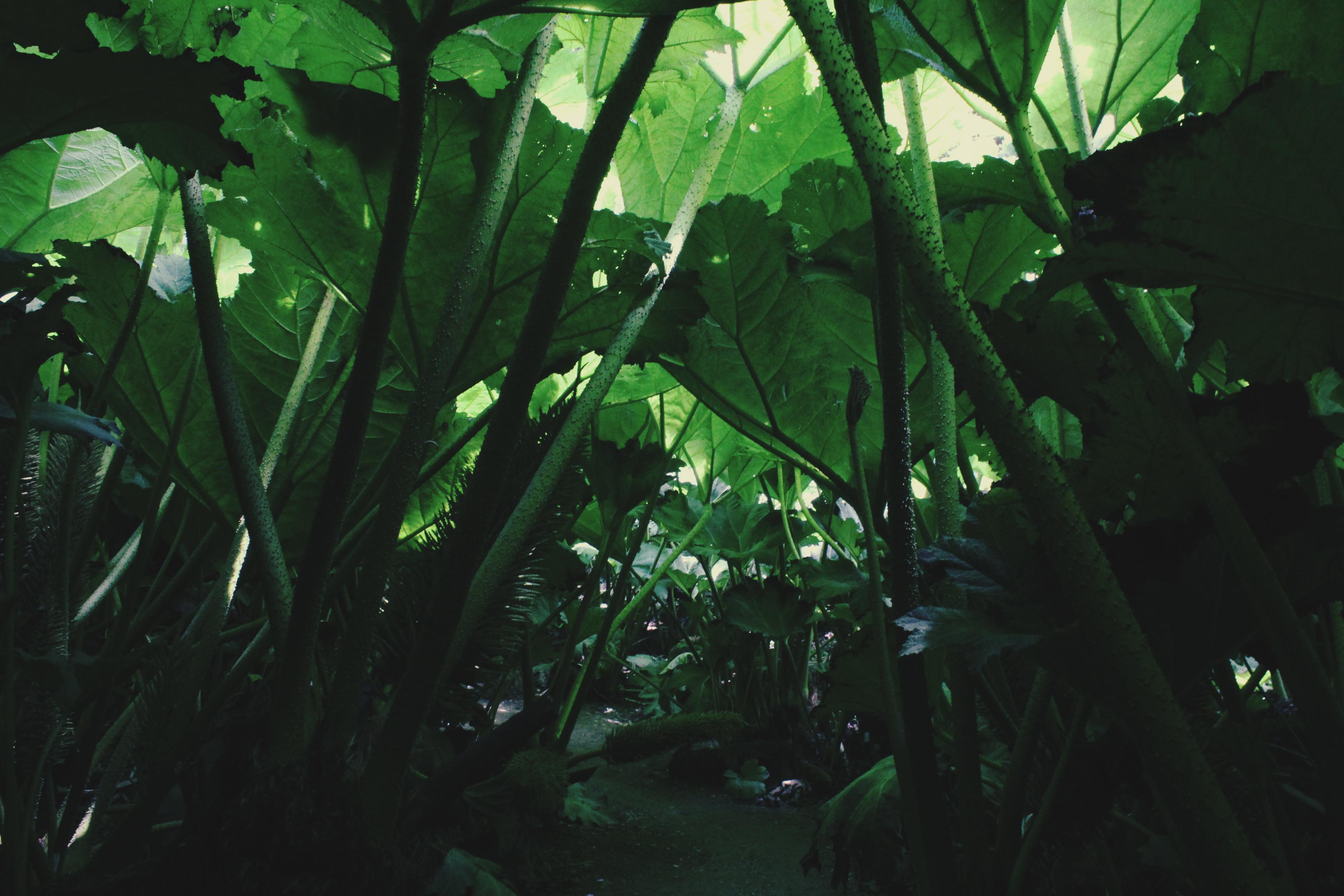 Huge gunnera leaf canopy, Trebah Gardens