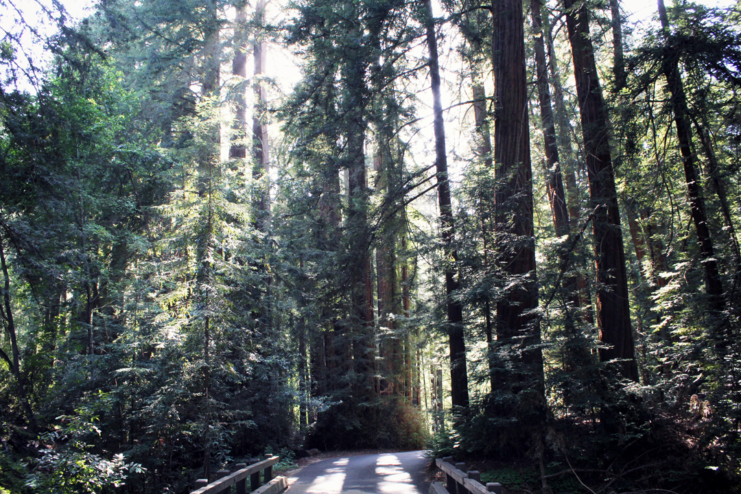 Redwoods in Pfeiffer State Park, Big Sur, California