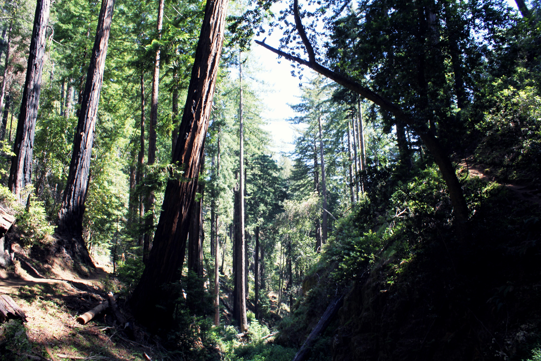 Big Sur Redwood Forests
