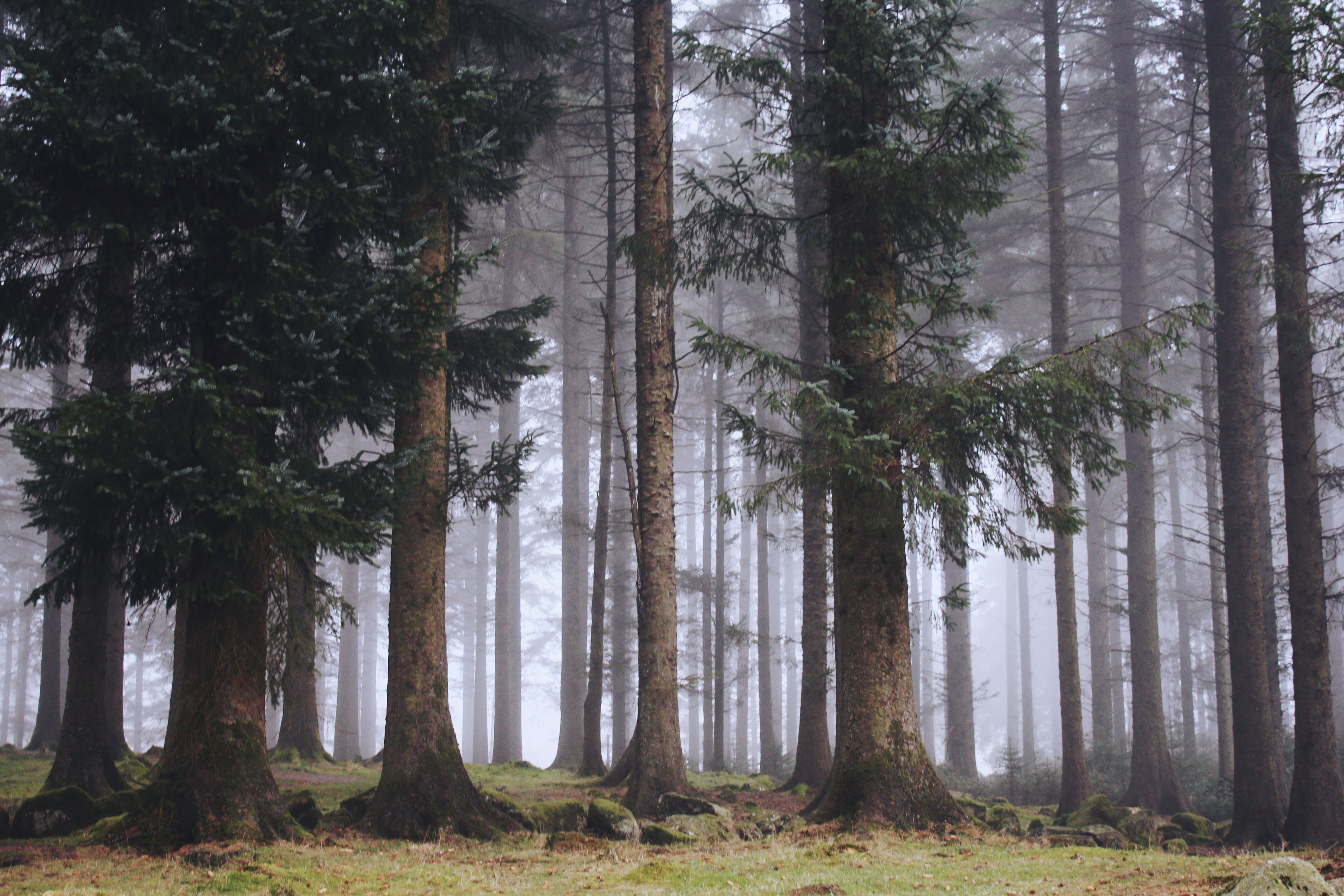 Pine forest at Bellever Forest, Dartmoor
