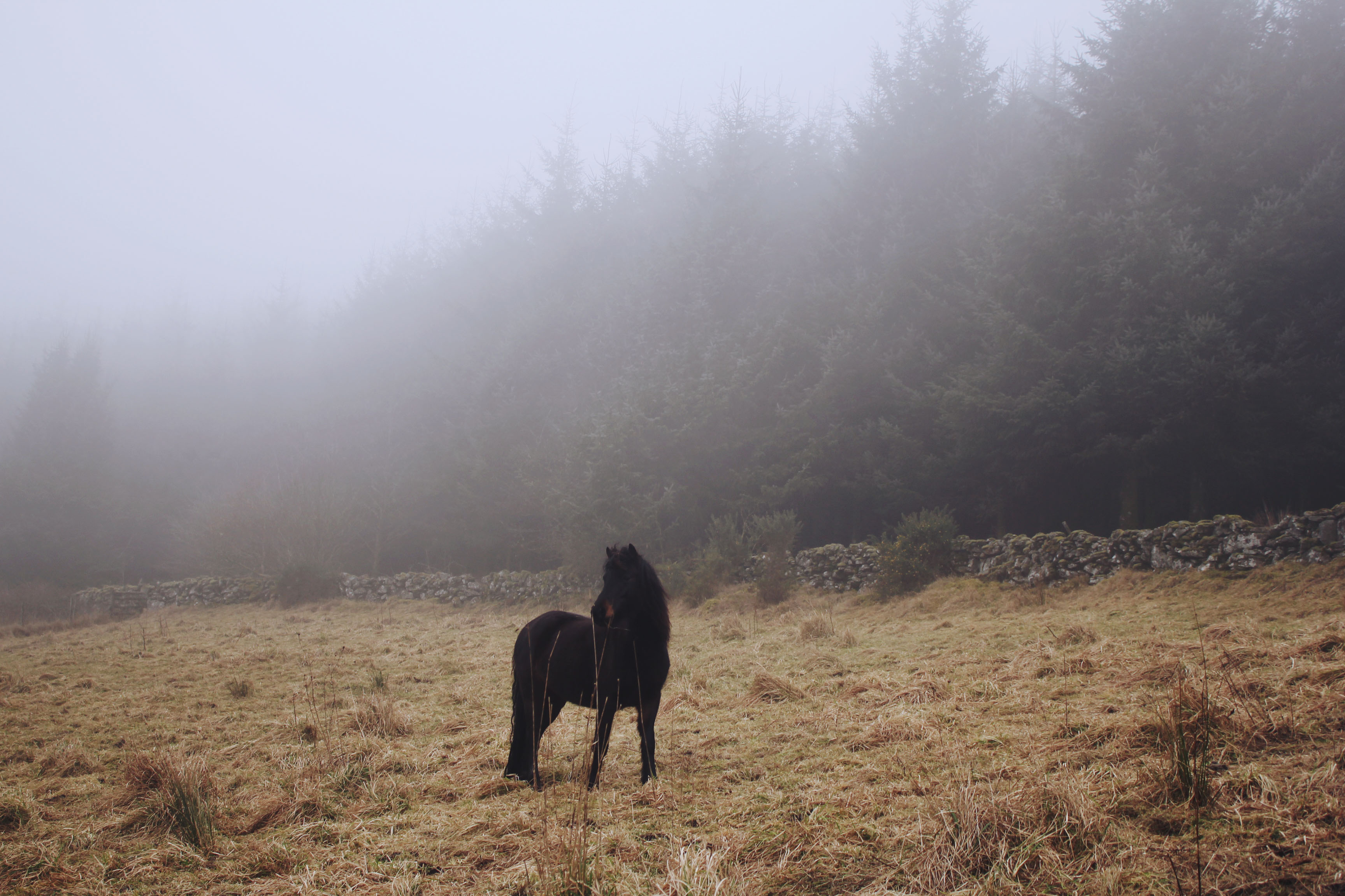 Dartmoor pony in the mist at Bellever Forest