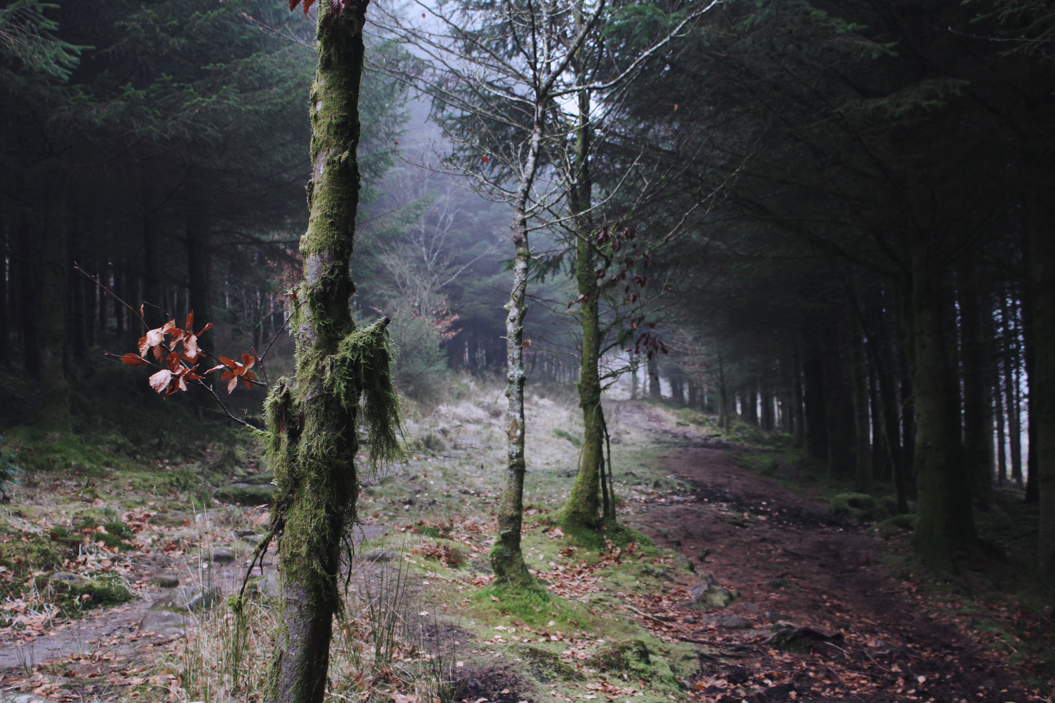 Winter woodland at Bellever Forest, Dartmoor