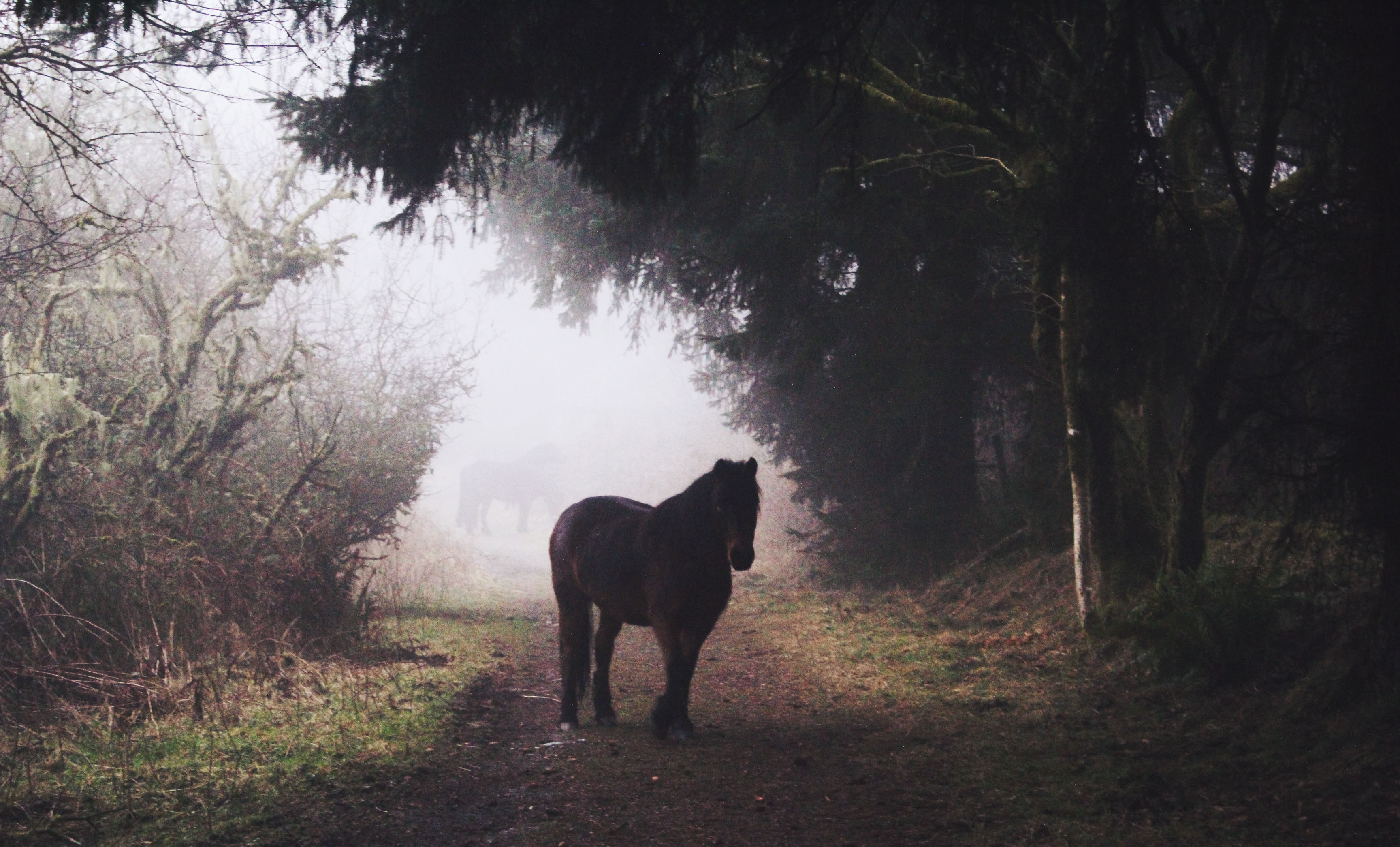 Curious Dartmoor Pony near Bellever Forest