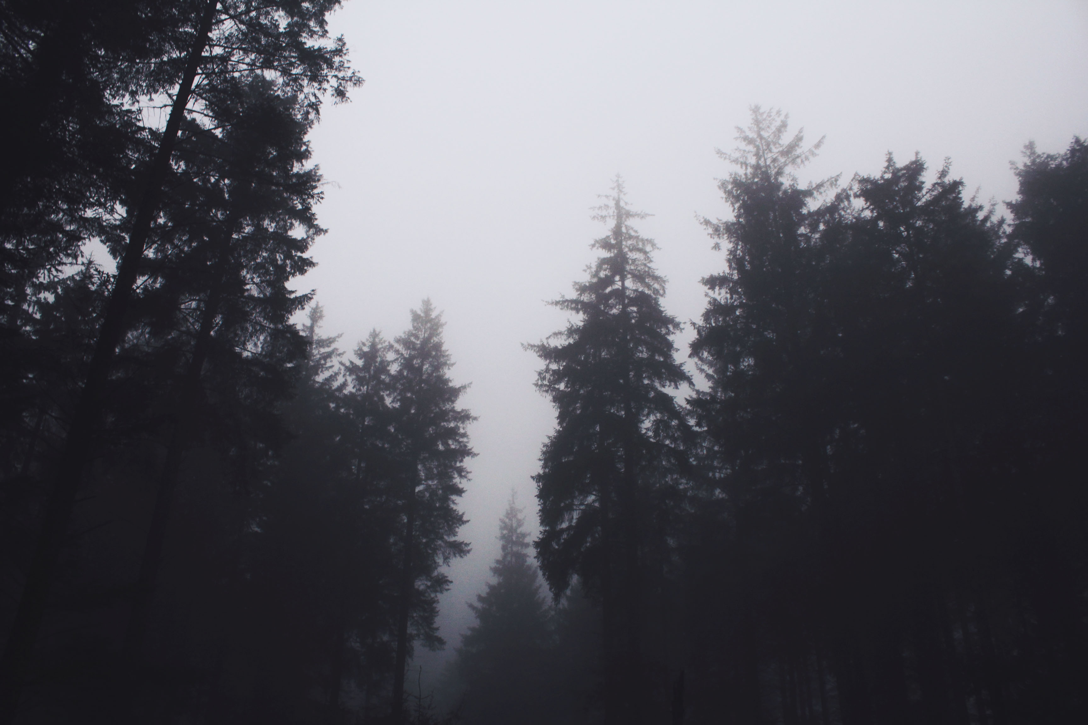 Eerie pine treeline at Bellever Forest, Dartmoor