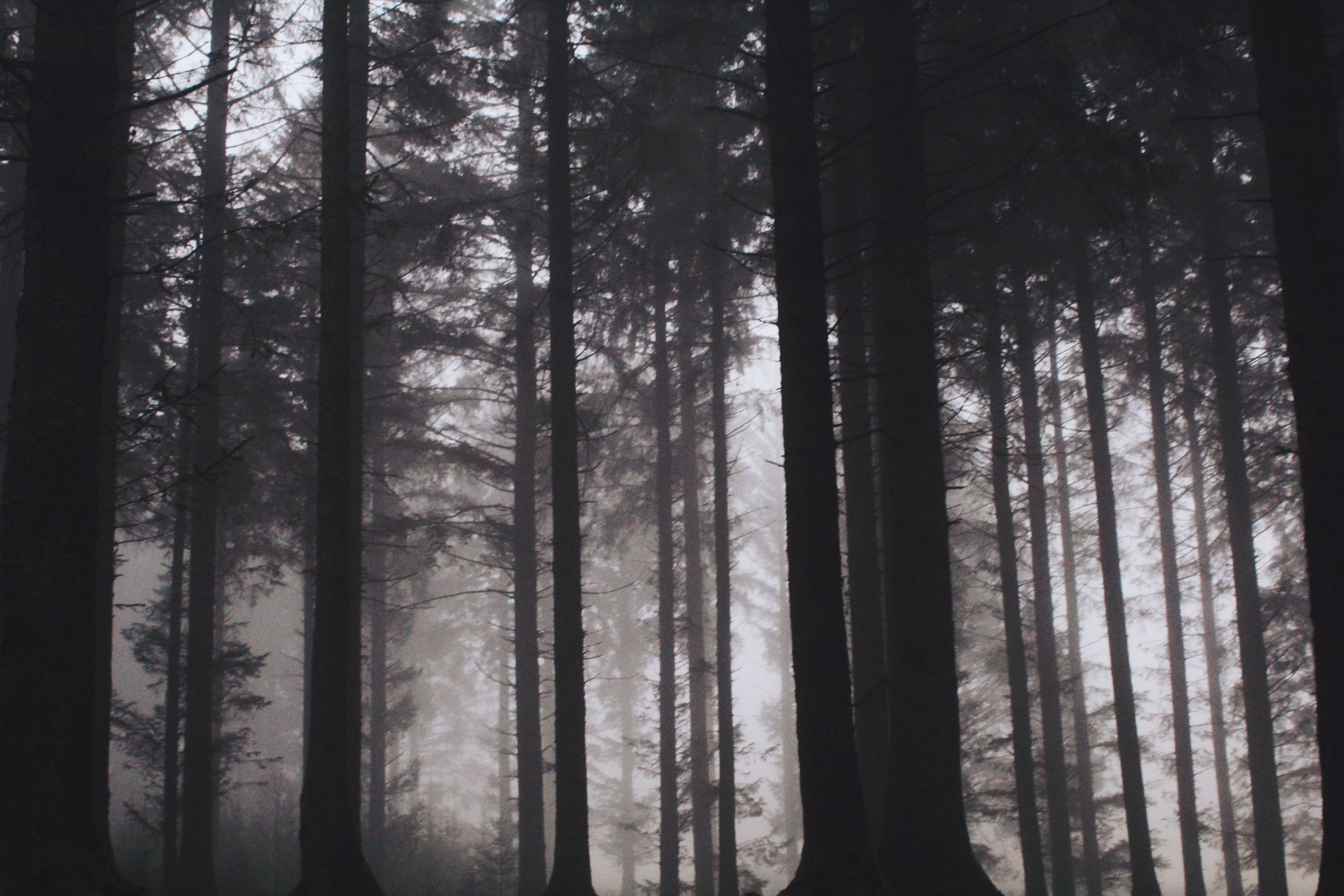 Dark pine forest at Bellever Forest, Dartmoor