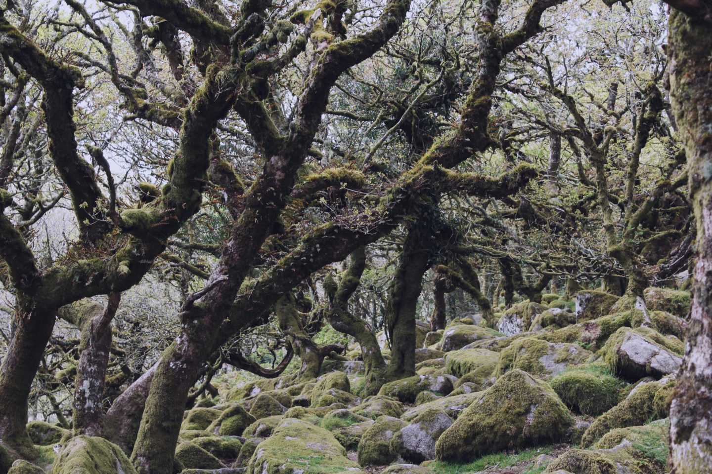 Oak Trees in Wistman's Wood, Dartmoor