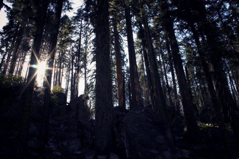 Bears & Giants, Sequoia National Park